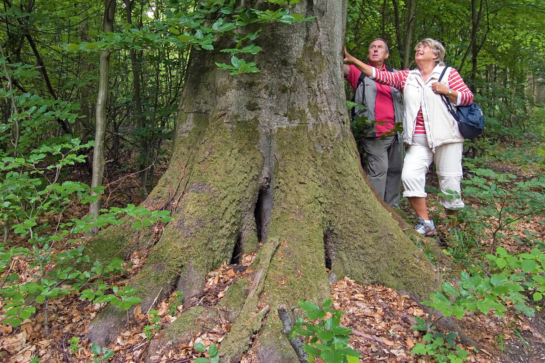 """Einen Baumriesen bestaunen auf dem Traumpfad """"Waldschluchtenpfad""""  © Klaus-Peter Kappest"""