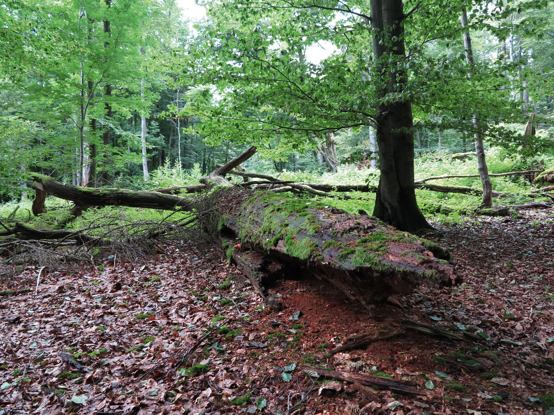 Holz zerfällt und verrottetzu neuem Waldboden © Lutz Bormann