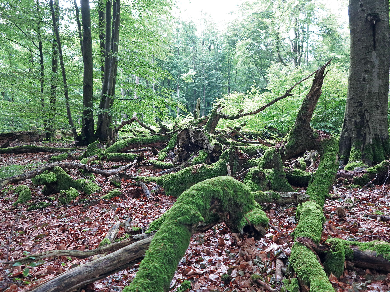 Totholz als Lebensraum für Insekten und Moose © Lutz Bormann