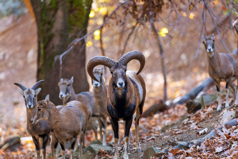 Wilde Mufflons auf Zypern © Troodos Tourism Board