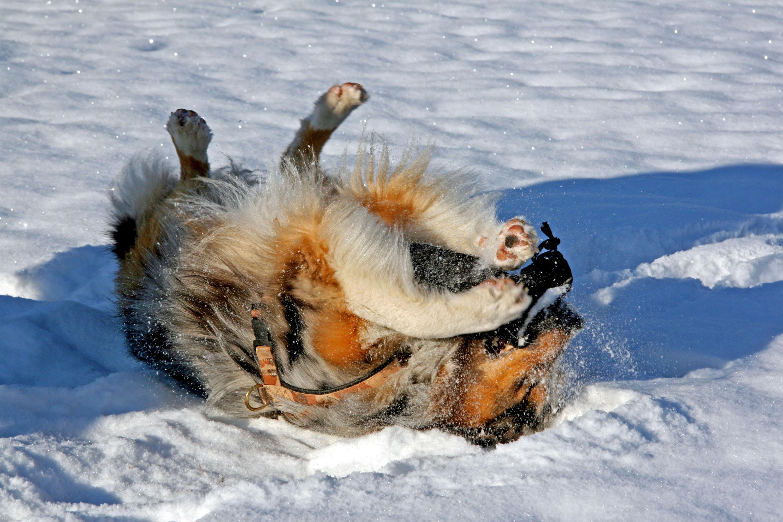 Der Schneewalzer gehört zur tierischen Freude dazu © Lutz Bormann