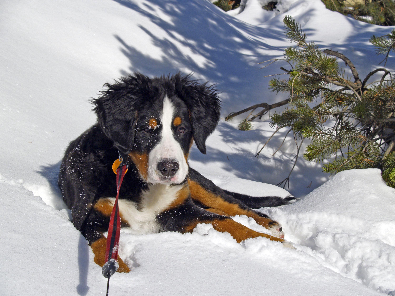 Appenzeller tragen den Schneein ihren Genen © pxhere.com