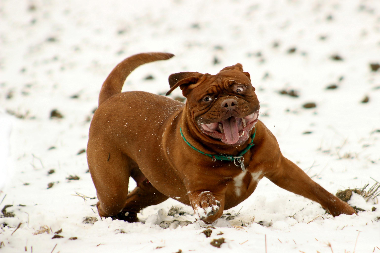 Auch Boxer lieben den Schnee © pxhere.com
