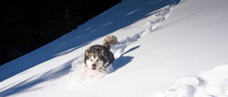 Pure Freude – wie der geölte Blitzdurch den Neuschnee jagen © pxhere.com