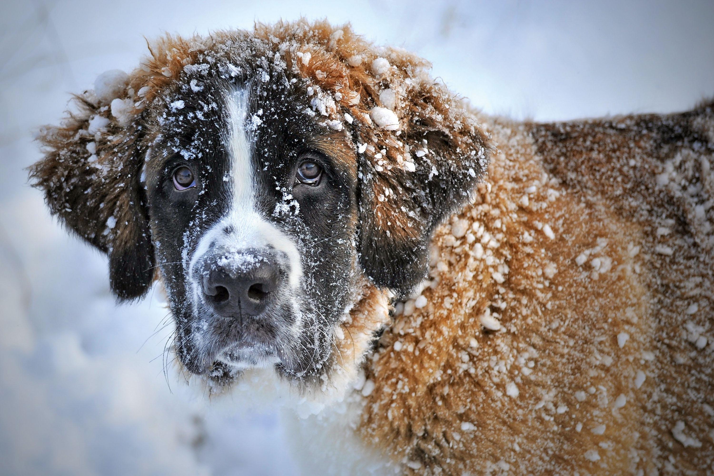 Typisches Problem bei Hunden mit langem Fell – verklumpter Schnee © pxhere.com