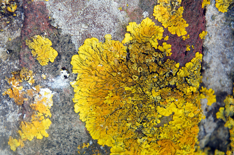 Ein gelbes Flechten-Gemälde – unter der  Lupe öffnet sich eine neue Dimension © pxhere.com