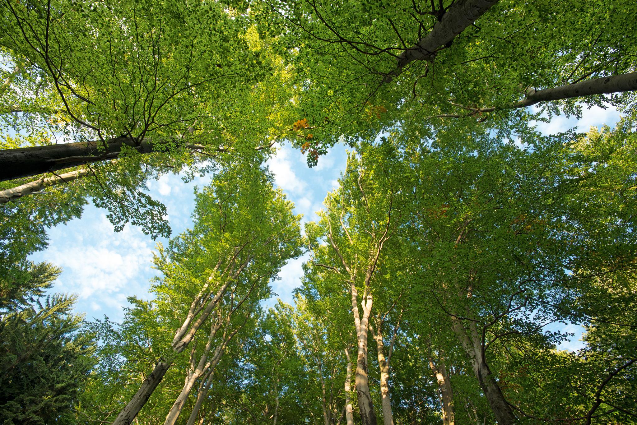 Fotosynthese ist die Lebensaufgabe der Baumkronen und ihres Blätterdachs.