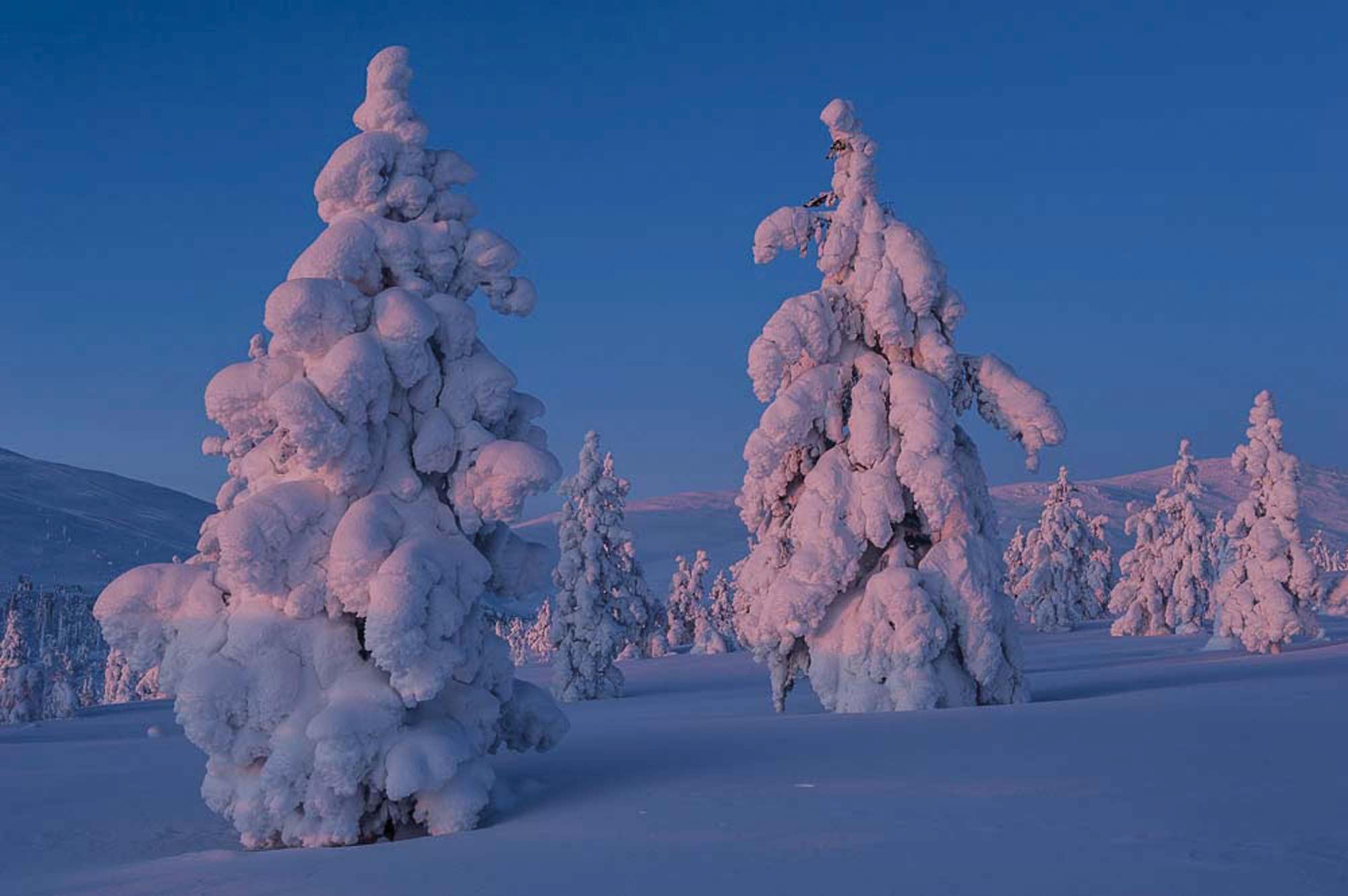 Verschneite Baumriesen: Inbegriff der Winterromantik (Vignette) © Klaus-Peter Kappest