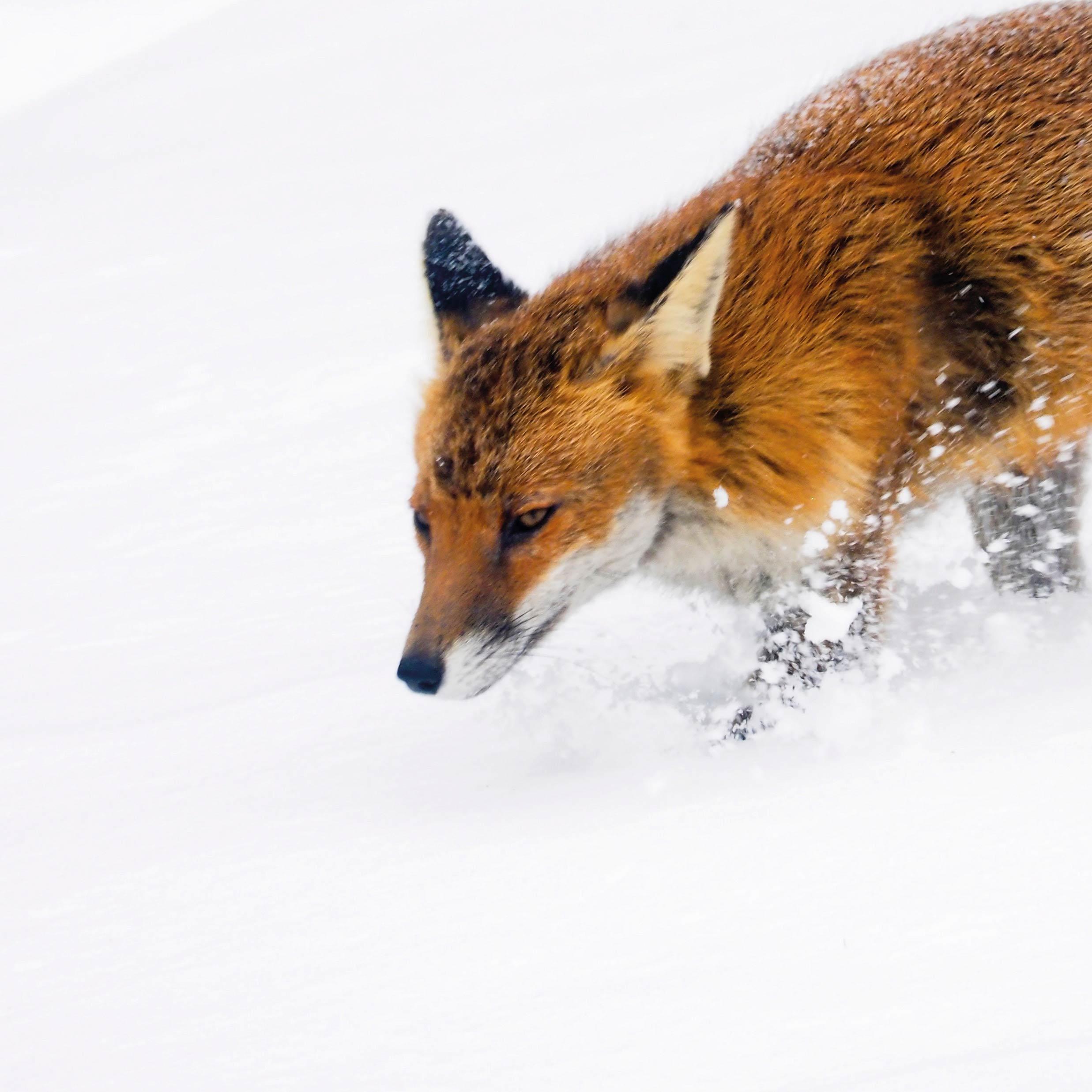 Im schnellen Trab hinterlässt der Fuchs Trittsiegel © Unsplash