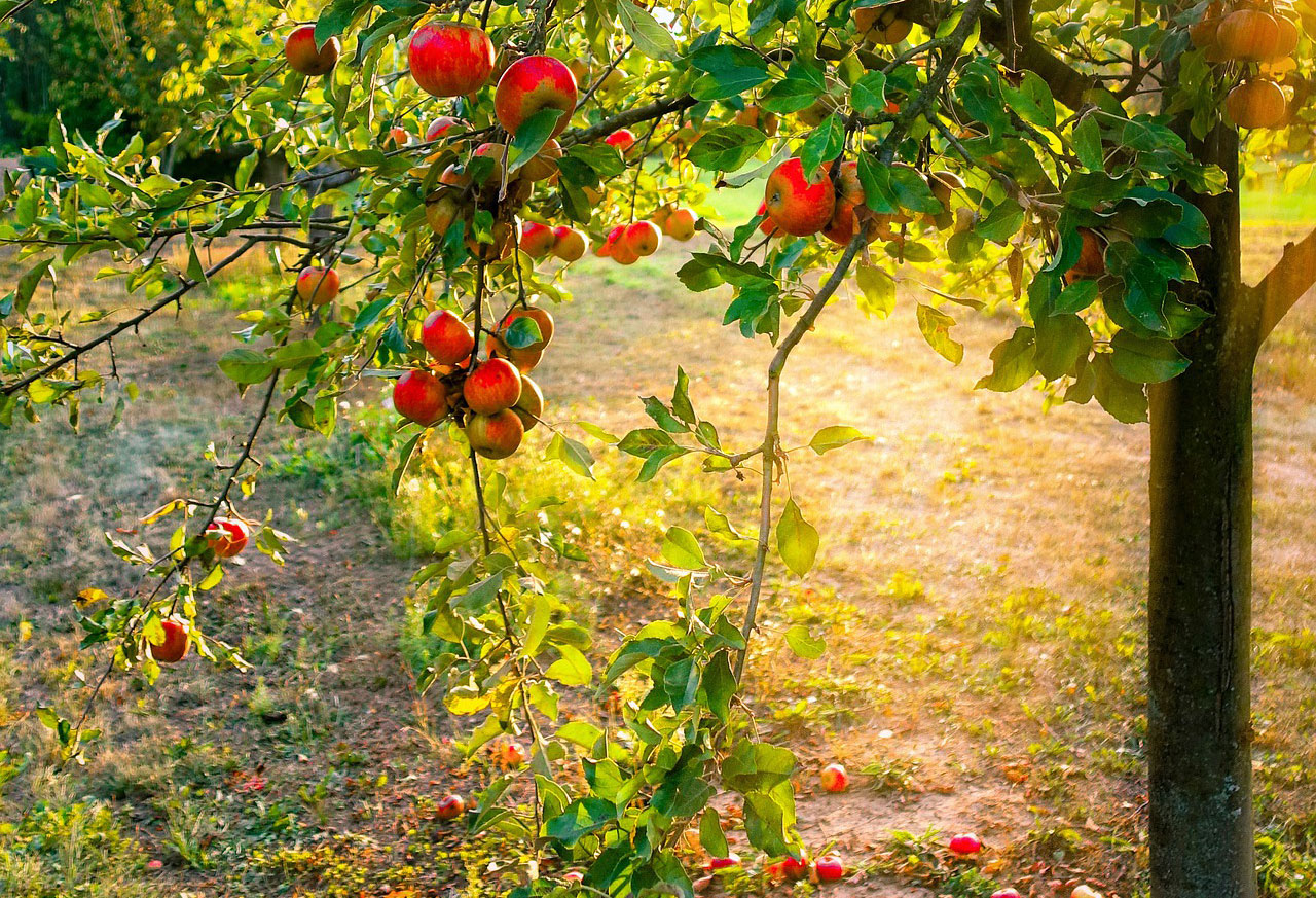 Naturbelassene Wiesen, seltene Obstsorten: Die Streuobstwiese © pixabay